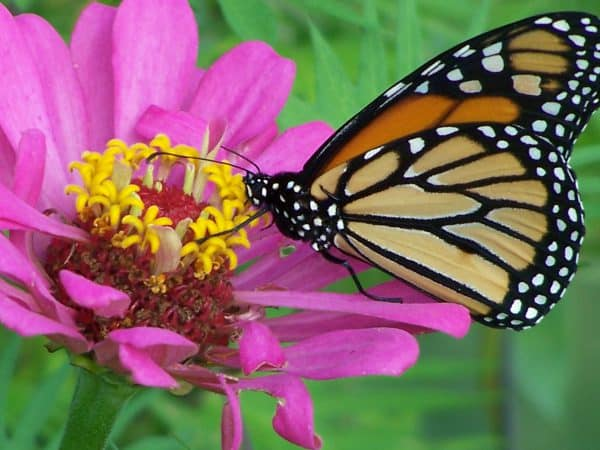 Garden Planning: Monarch Waystations