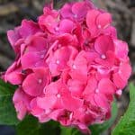 Pictured Above: Glowing Embers Hydrangea looking gorgeous in full bloom