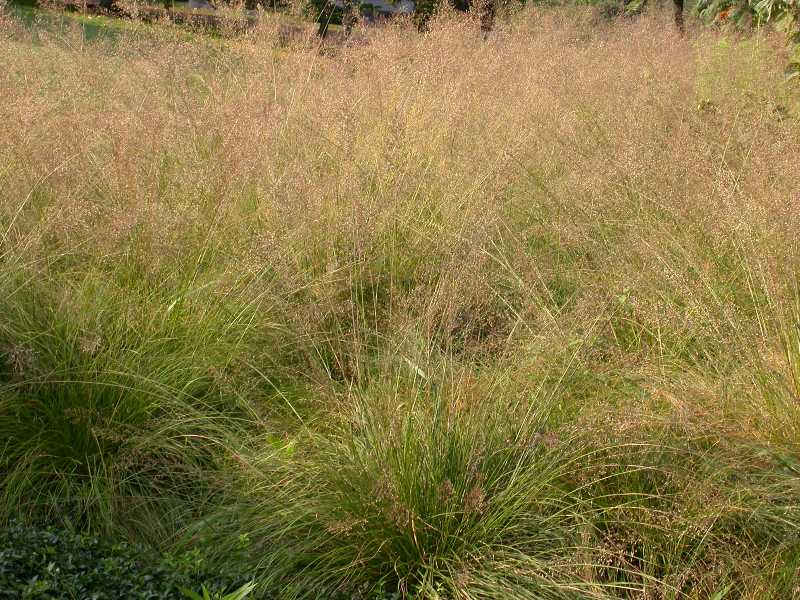 Pictured Above: Prairie Dropseed Native
