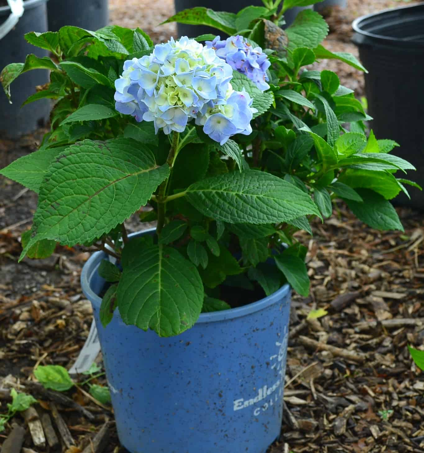 Pictured Above: Hydrangea Endless summer blooming light blue flowers.