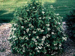 summer snowflake viburnum grimm s gardens