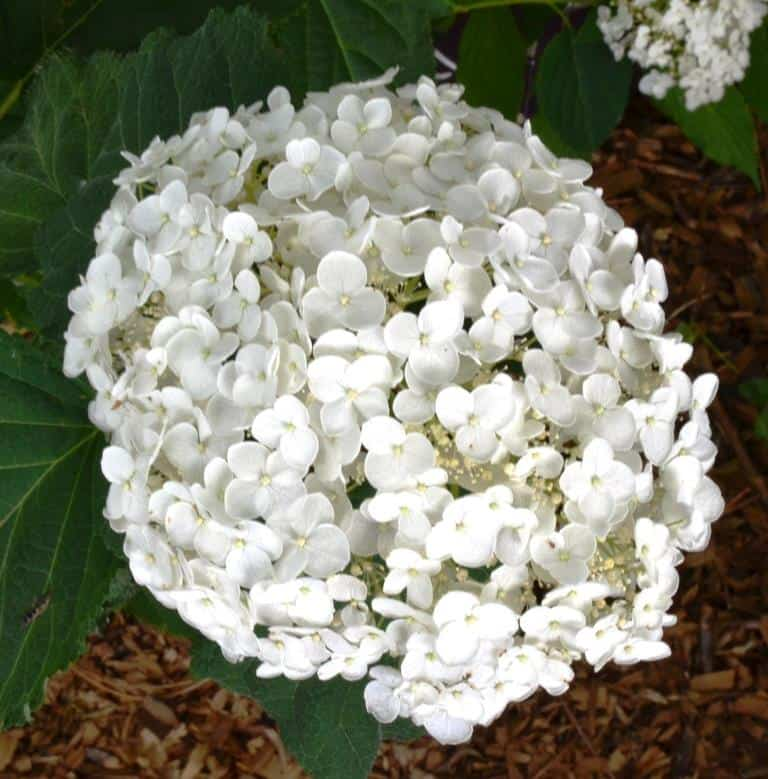 Pictured Above: Hydrangea Incrediball in full bloom.