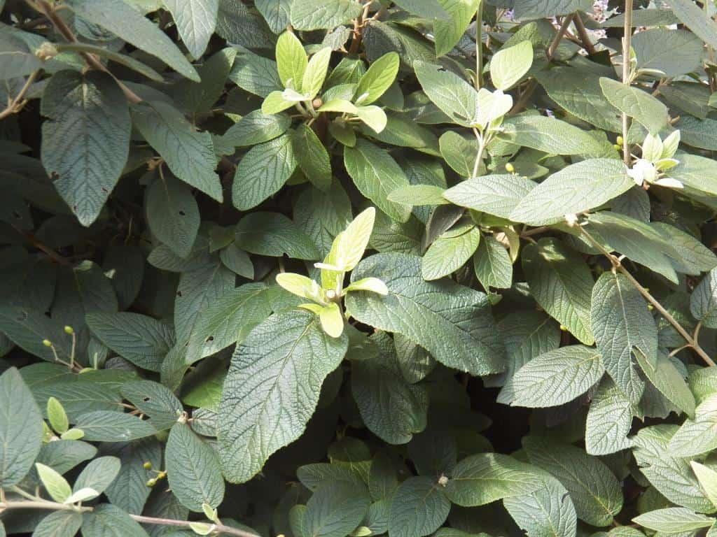 Viburnum rhytidophyllum (3)comp