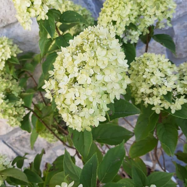 close up of little lime hydrangea blooms, cone shaped with small white lime blooms