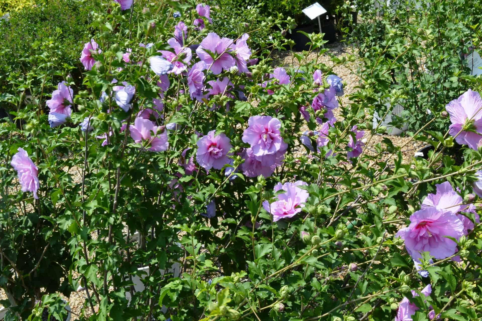 Lavender Chiffon Rose of Sharon   Grimm\'s Gardens