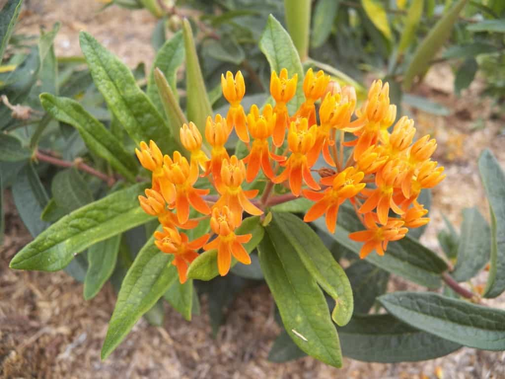 Pictured Above: Butterfly Milkweed