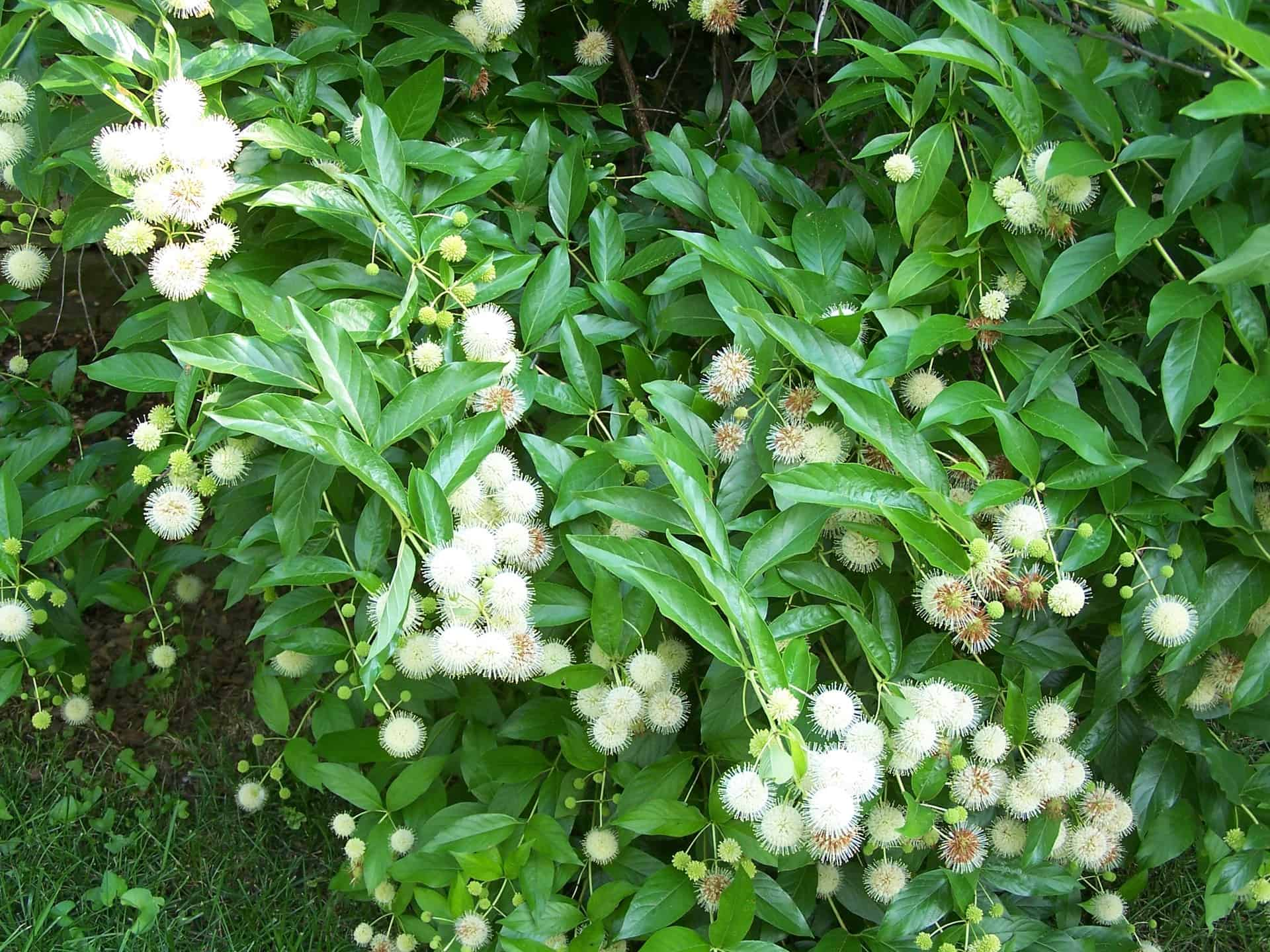 Pictured Above: Buttonbush