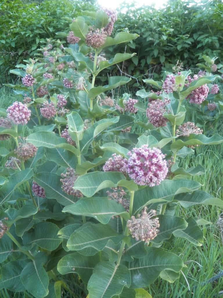 Pictured Above: Common Milkweed