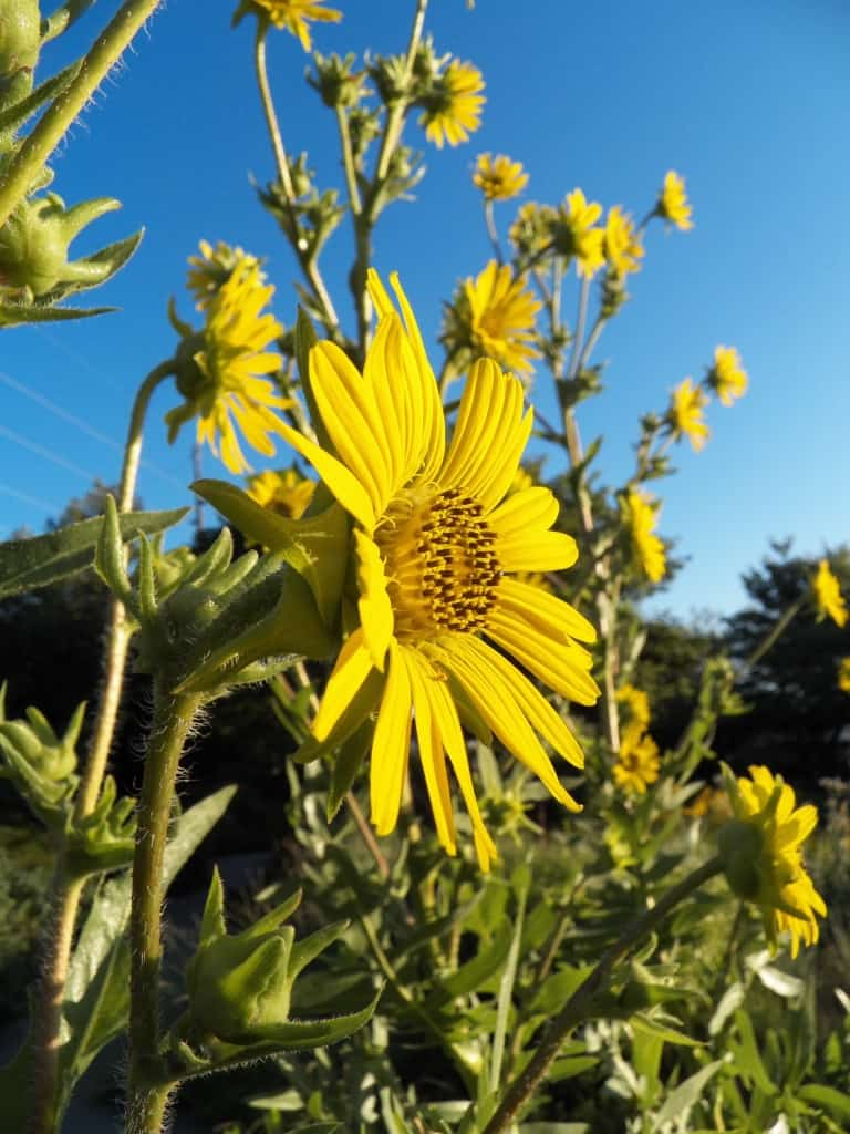 Pictured Above: Compass Plant