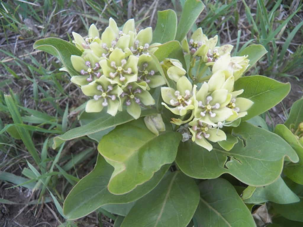 Pictured Above: Spider or Green Antelope horn Milkweed