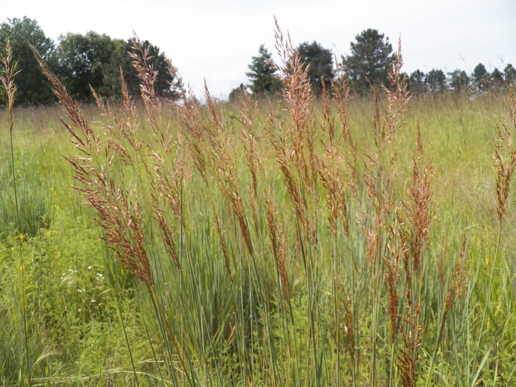 Indiangrasscomp