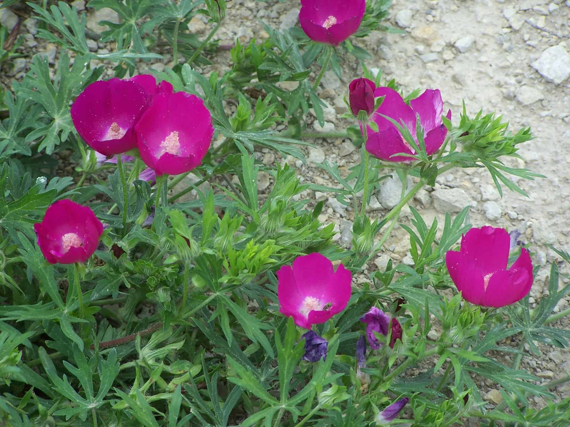 Pictured Above: Purple Poppy Mallow