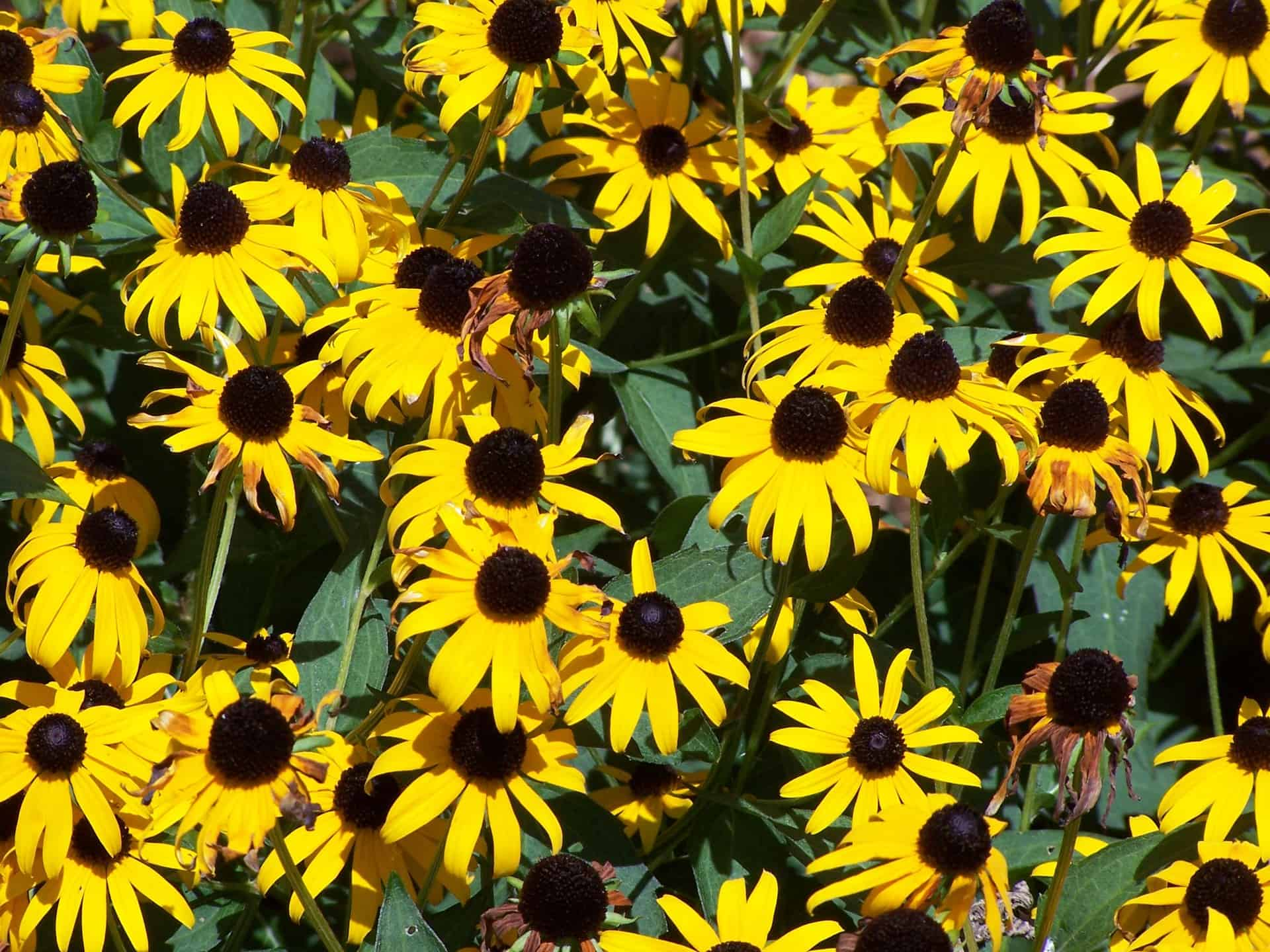 Pictured Above: Native Black-Eyed Susan (Rudbeckia Hirta)