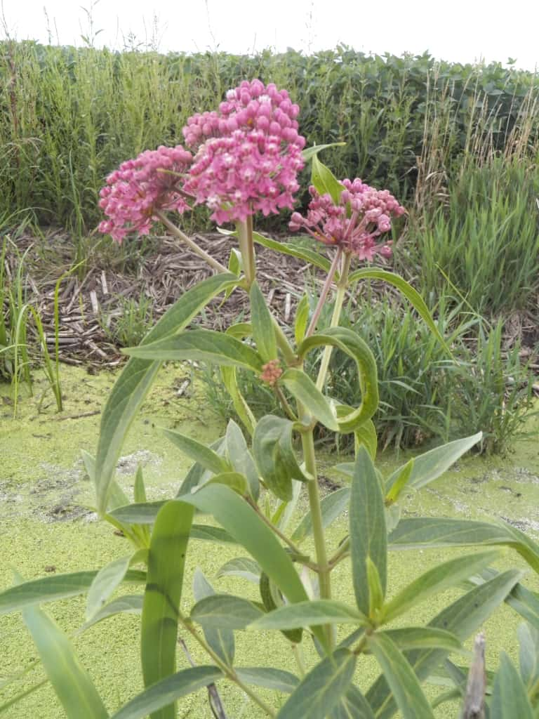 Pictured Above: Swamp Milkweed