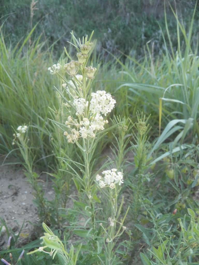 Pictured Above: Whorled Milkweed