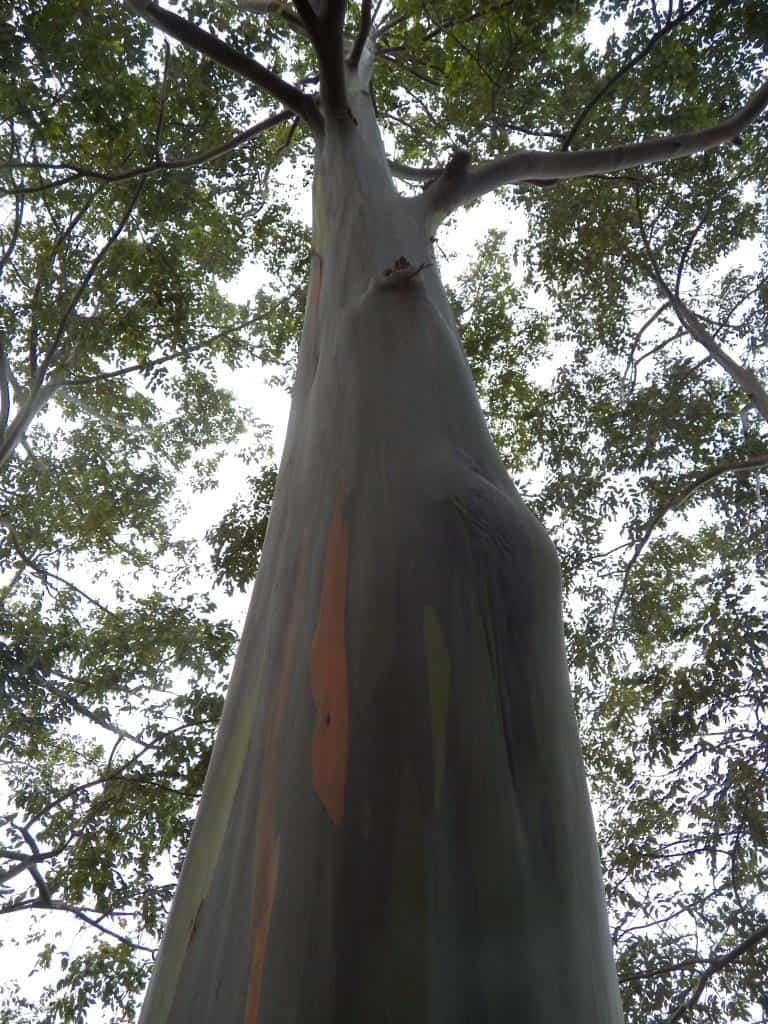 Rainbow Eucalyptus (2)comp