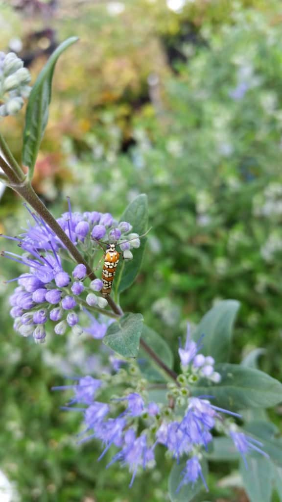 Ailianthus Webworm Moth pollinating blue mist shrub