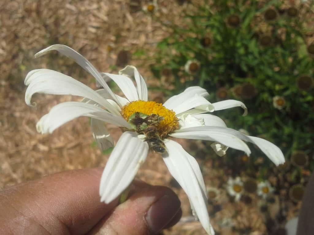 Ambush bug eating a bee