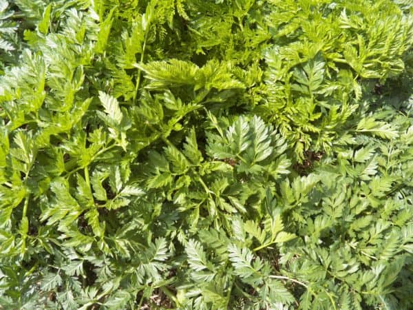 Weed Files: Poison Hemlock