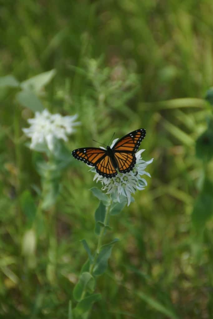Viceroy Butterfly is a Monarch Mimic