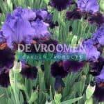 Violet_Turner_1_