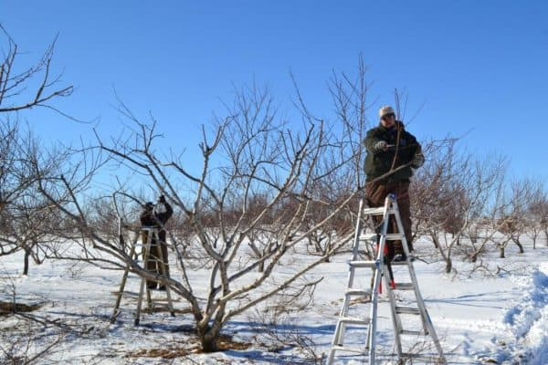 DIY Fruit Tree Pruning