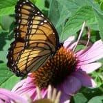 Attracts Butterflies