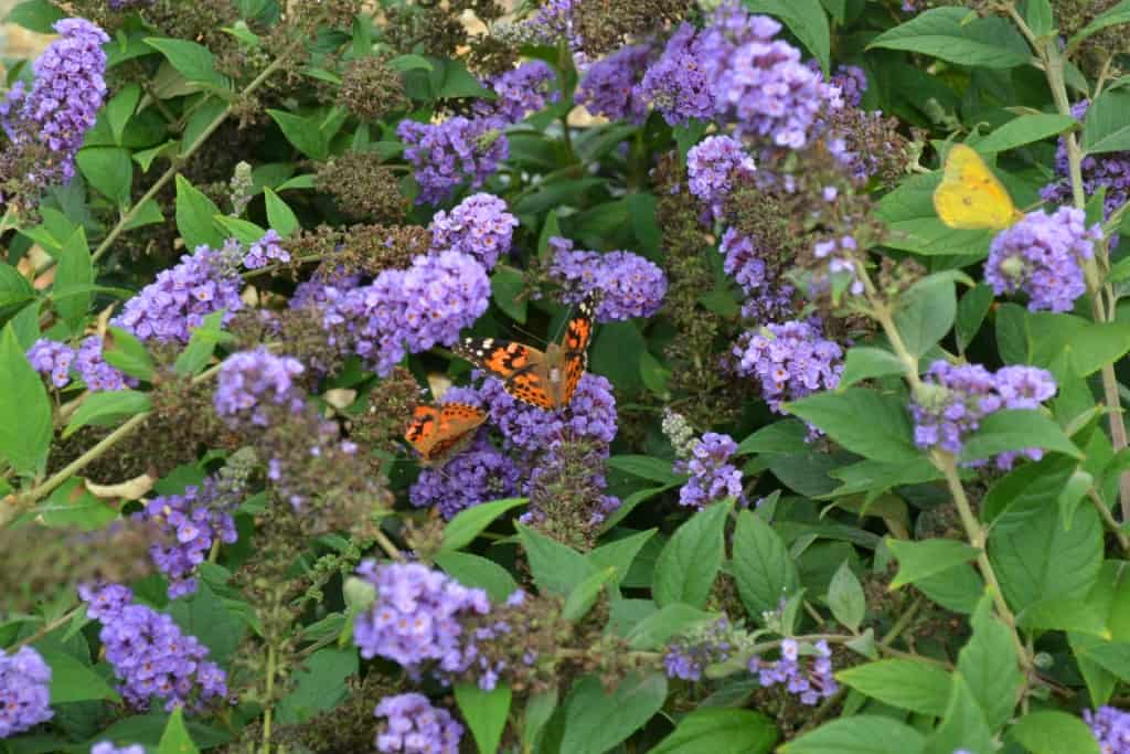 Butterfly on Butterflybush