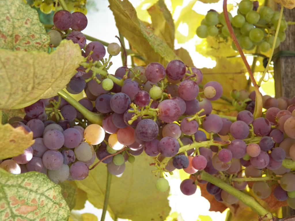 Growing Grapes In Your Backyard Grimm S Gardens