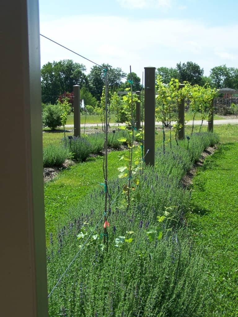 growing grapes in your backyard grimm u0027s gardens