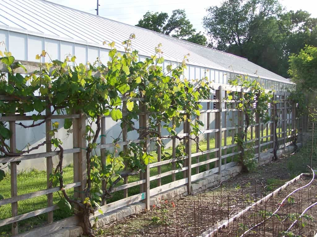 Growing Grapes in Your Backyard Grimms Gardens