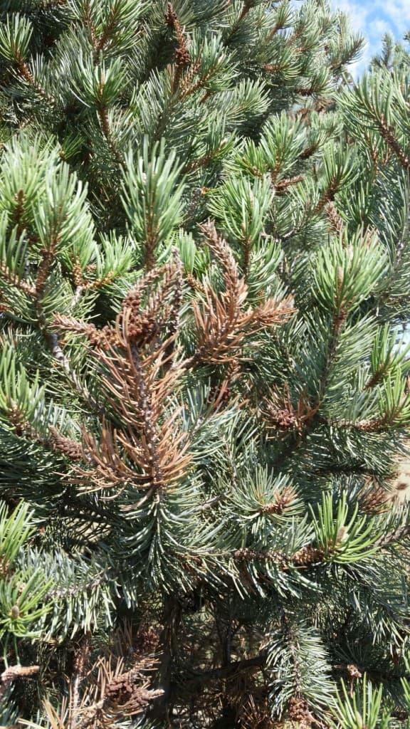 Pine Tip Blight (Diplodia)