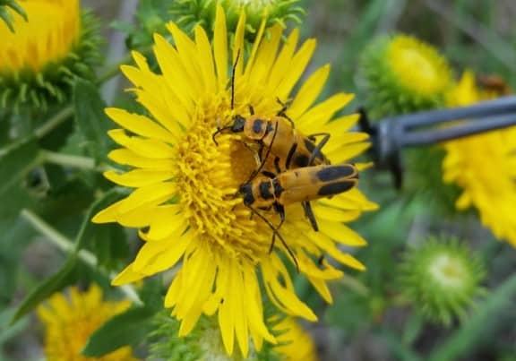 Pennsylvania Leatherwing Soldier Beetle