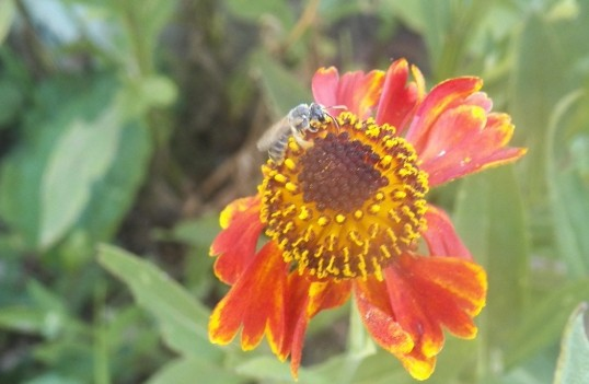 Native Bees for Pollination