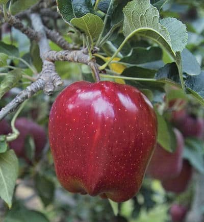 Red Delicious Apple Emla7 Rootstock Grimms Gardens