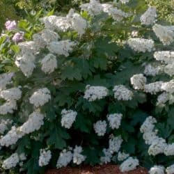 Alice Oakleaf Hydrangea full of white blooms