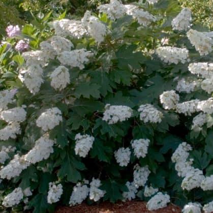 Alice Oakleaf Hydrangea full of white blooms