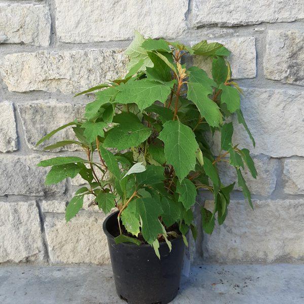 Alice Oakleaf Hydrangea in a 2 gallon pot