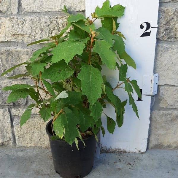 Alice Oakleaf Hydrangea in front of a measuring board, 2 feet tall including a 2 gallon pot