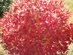 Compact American Cranberry Viburnum Grimm S Gardens