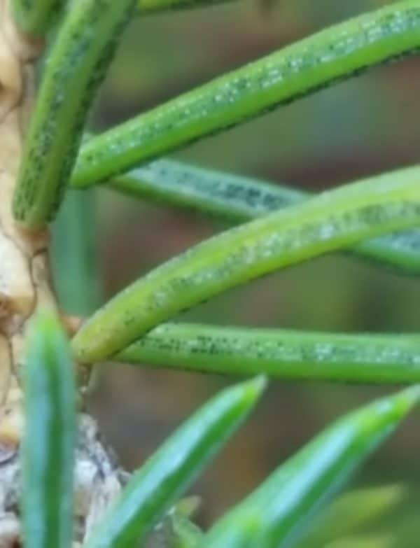 Rhizosphaera Needle Cast of Spruce
