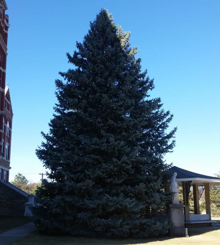 This large Colorado spruce is decorated every year by the Sisters of St. Joseph in Concordia, KS