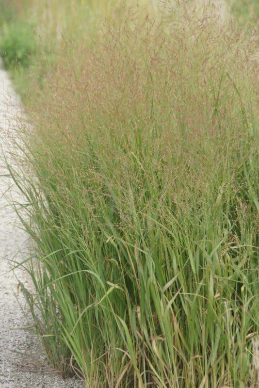 Delightful Switchgrass