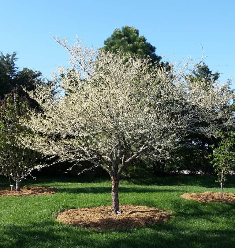 Grimm's White flowering redbud