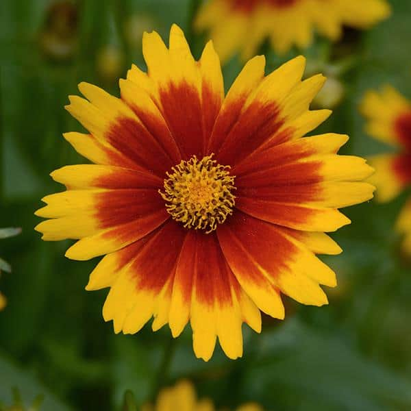 Uptick Gold & Bronze Coreopsis – Gallon Container