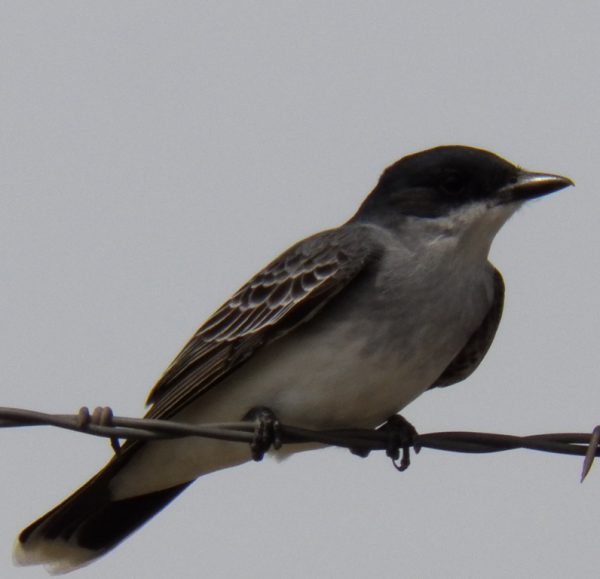 The Eastern Kingbird