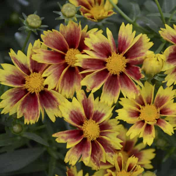 Enchanted Eve Coreopsis – Gallon Container