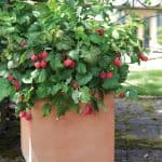 shortcakeraspberry