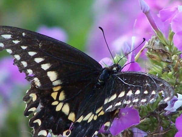 Top Plants for Bees/Butterflies: June-July Part II