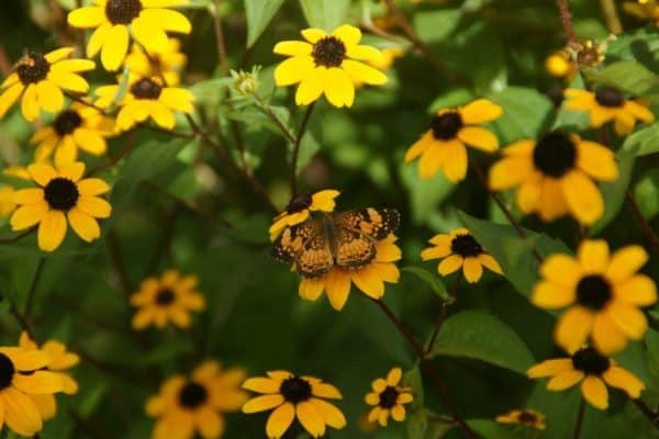 Top Perennials for Bees & Butterflies – August